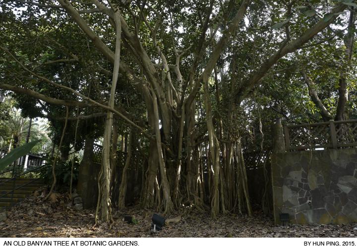 _03C_Botanic-Gardens-Banyan-Tree-2015