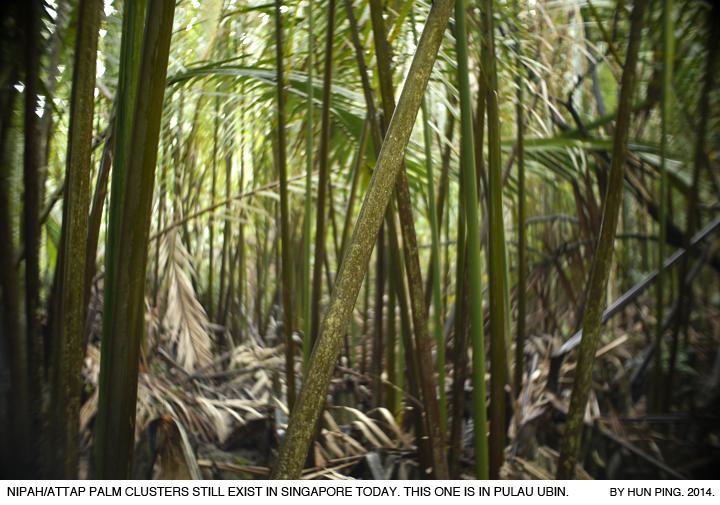 _05A-Pulau-Ubin-Nipah-Attap-Palms-2014